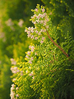 Thuja Hecke pflanzen